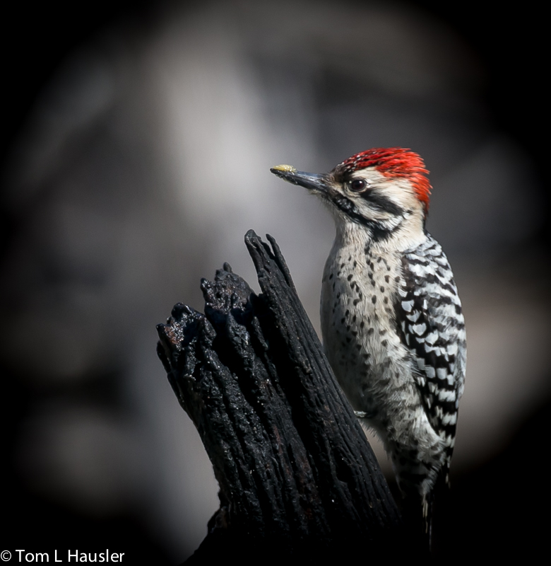 Ladder-backed Woodpecker at Pedernales Falls Park