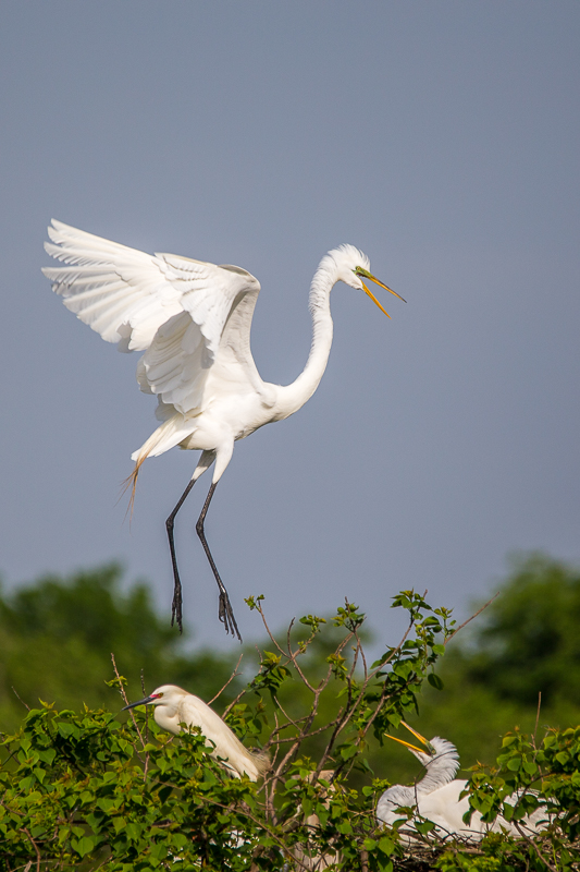 Great egrets at Smith Oaks.